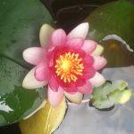 色鮮やかな睡蓮が咲きました