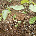 綿の成長日記「悩ましい問題」
