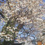 嵐の翌朝の満開の桜