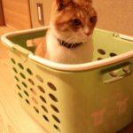 洗濯カゴに入るチロ、その訳は……