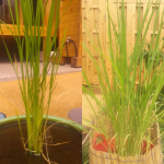 稲もすくすくと成長中