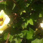 育っている綿に花が咲きましたが……