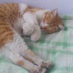 善了寺の看板猫「チロ」を紹介します