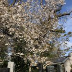 山桜 🌸満開🌸