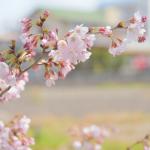戸塚の桜も見ごろを迎えました