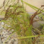 実りの秋到来!稲もいよいよ収穫間近です
