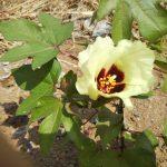綿の成長日記「開花して、ひと安心」