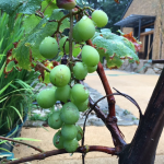 還る家ともに の思い出の葡萄の木です。